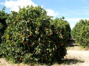 Postal: Un campo de naranjos