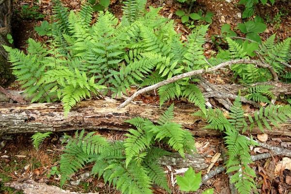Helechos entre troncos y ramas