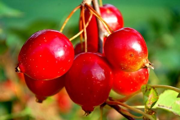 Frutos del espino blanco