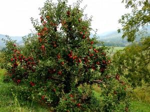 Un hermoso manzano