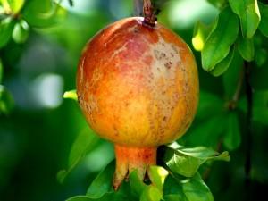 Una granada en el árbol