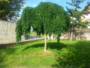 Postal: Bonito árbol en un jardín