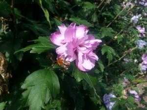Gran abeja en una flor rosa