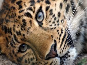 Postal: Bonita cara de un leopardo