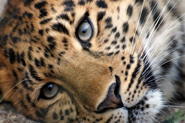 Bonita cara de un leopardo