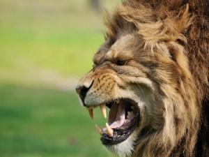 Un león enseñando sus gruesos colmillos