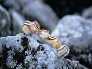 Ardillas dándose un cariñoso beso