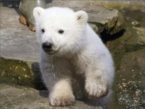Un cachorro de oso polar entre las rocas