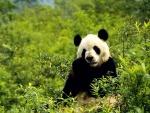 Oso panda sentado entre las plantas verdes