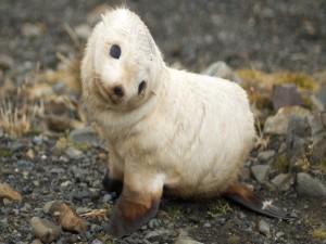 Postal: Cría de león marino
