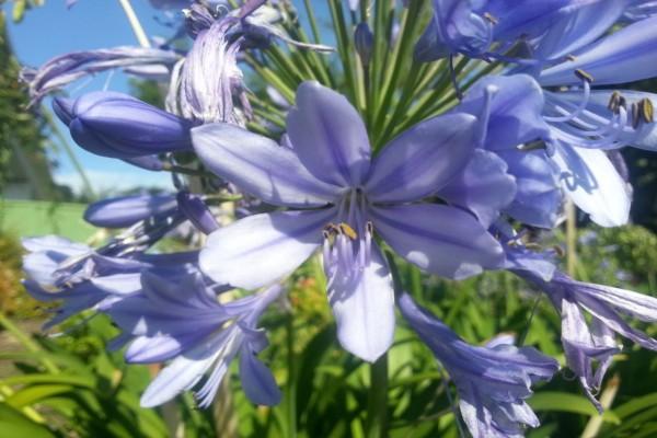 Gran flor de color lila entre algunas flores marchitas