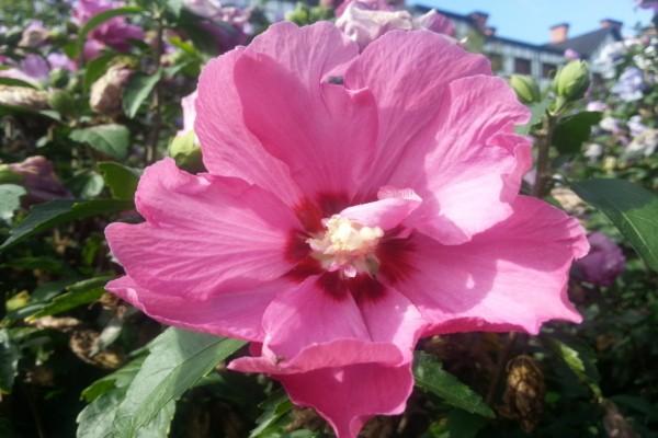 Gran flor de color rosa en el arbusto