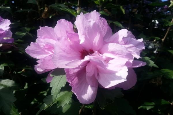Flor con muchos pétalos rosas