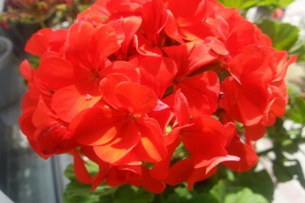 Flor de geranio roja