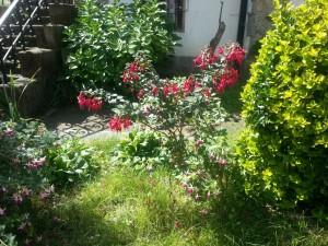 Postal: Plantas con pendientes de la reina (fuchsia)
