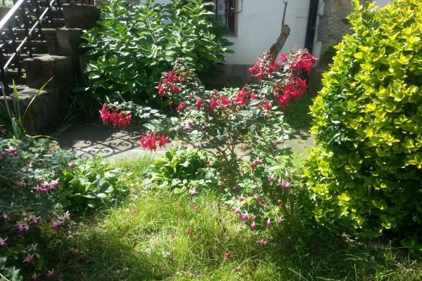 Plantas con pendientes de la reina (fuchsia)