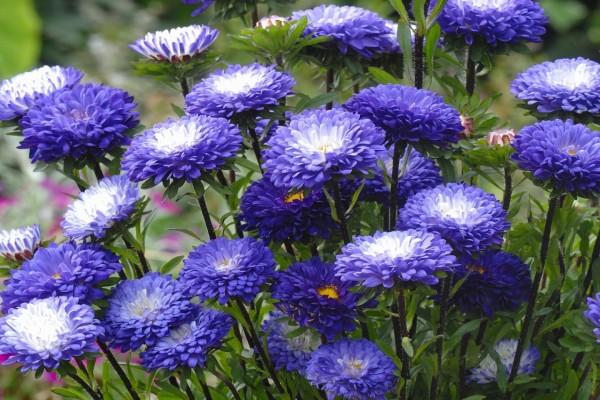 Conjunto de flores aster de color violeta