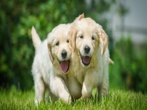 Postal: Dos alegres cachorros caminando juntos sobre la hierba