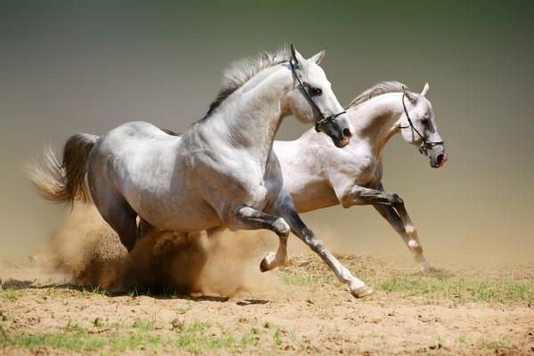 Hermosos caballos blancos corriendo sobre la arena