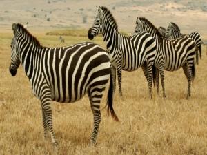 Un grupo de cebras sobre la hierba seca