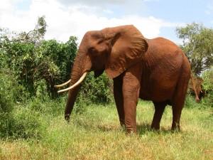 Elefante con grandes colmillos
