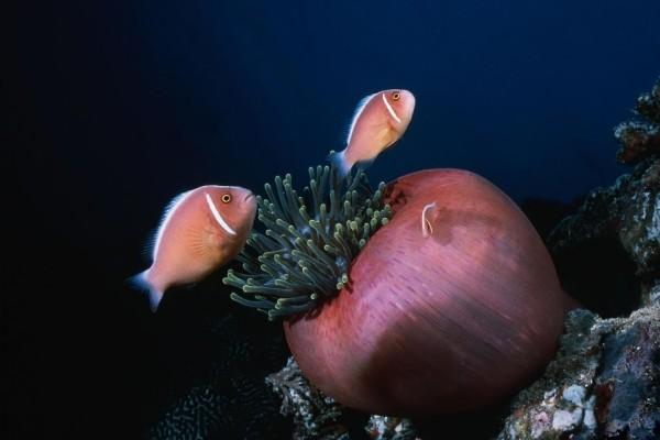 Peces payaso nadando alrededor de una anémona