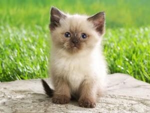 Postal: Un gatito siamés