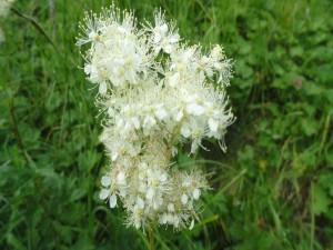 Postal: Flores blancas con largos estambres