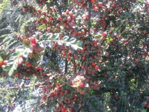 Postal: Frutos rojos en el arbusto