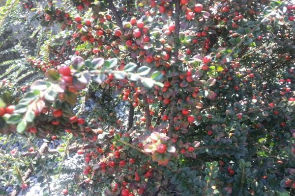 Frutos rojos en el arbusto