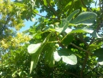 Higos verdes en la higuera