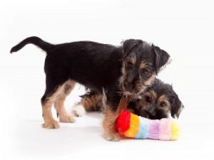 Postal: Perritos jugando con un peluche