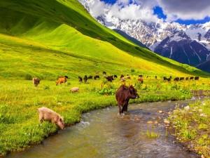 Vacas y cerdos comiendo pasto en la montaña junto a un río