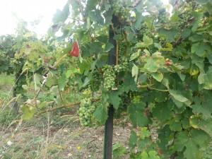 Postal: Uvas en la parra