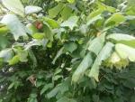 Avellanas madurando en el árbol