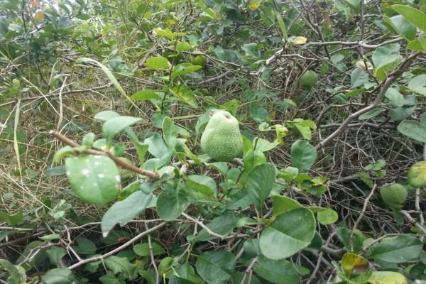 Membrillos verdes