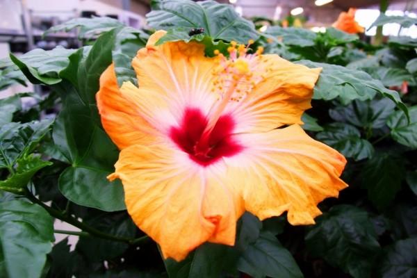Un precioso hibisco naranja