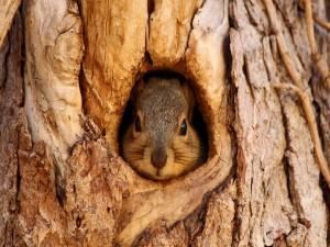 Ardilla en el hueco de un árbol