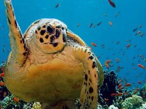 Una gran tortuga marina y pececillos naranjas
