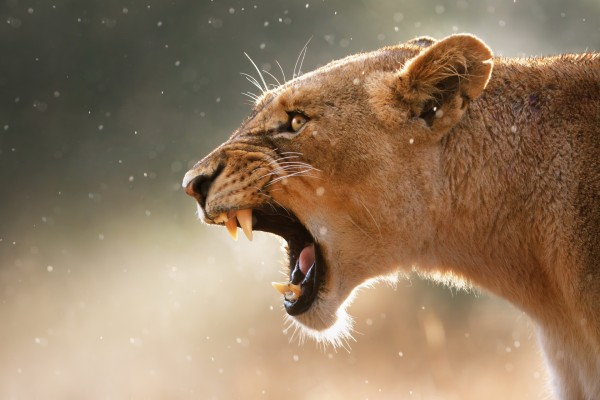 Los colmillos de una leona enfurecida