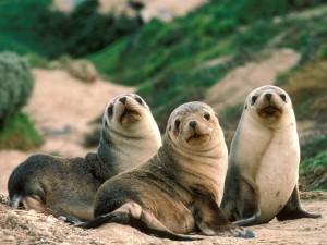 Postal: Tres leones marinos quietos sobre la arena