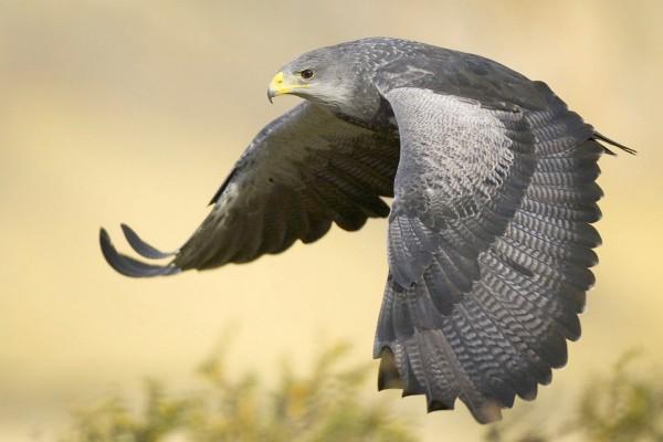 Águila mostrando sus alas