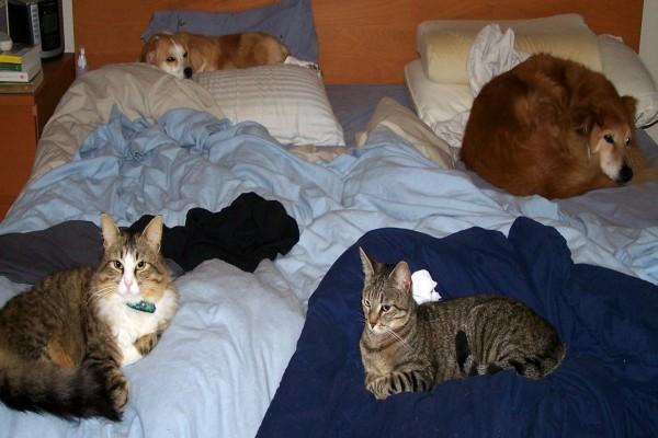 Perros y gatos sobre la misma cama