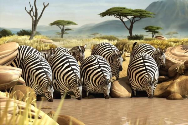 Cebras locas bebiendo agua