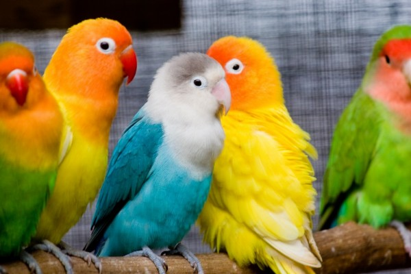 Periquitos de varios colores