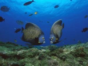 Postal: Dos grandes peces junto a una roca marina
