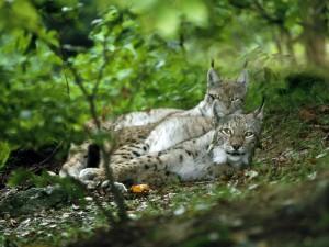 Dos linces tumbados en el bosque