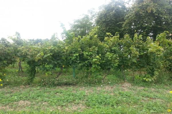 Parras con uvas verdes