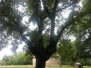 Postal: Rayos de sol entre las ramas del roble