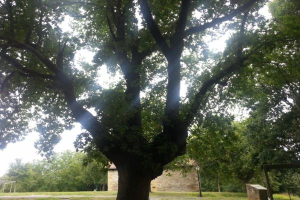 Rayos de sol entre las ramas del roble